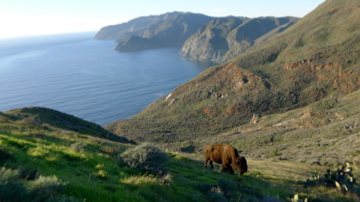 A buffalo in Santa Catalina Island